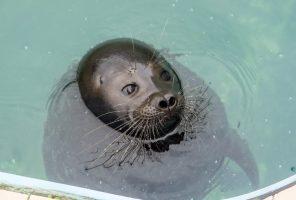 По-летнему тепло: нерпёнок Дубровский загорает у бассейна