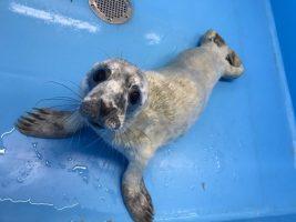 В Ленобласти спасли очередного тюленя