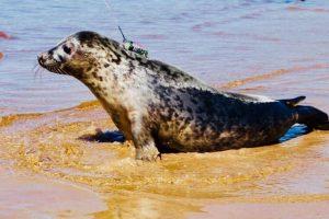 В центре «Спасение тюленей» рассказали об опасностях Сестрорецкой губы