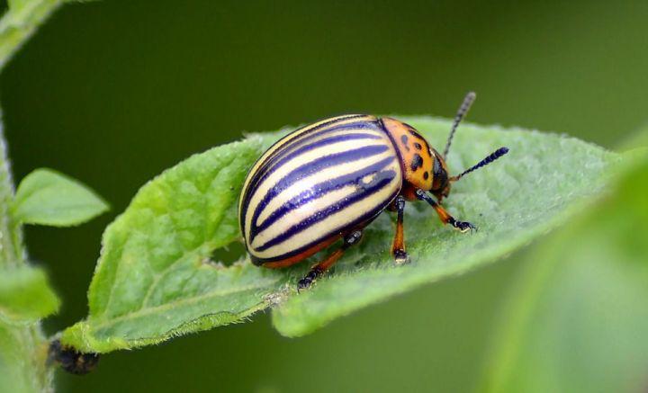 Почему нельзя давить колорадских жуков?