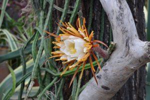 Цветение «Царицы ночи» вызвало 10-балльные пробки в Ботаническом саду