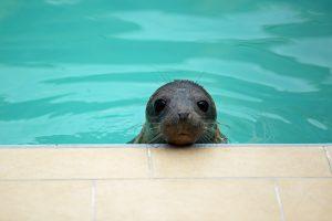 Тюлень Март освоился в Финском заливе
