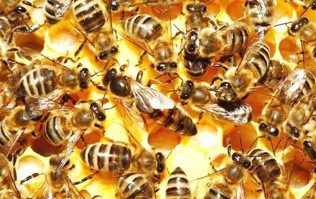Гибель пчел затронула 30 регионов России
