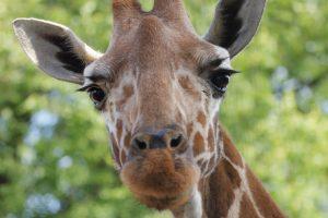 Петербуржцам предложили покормить жирафа