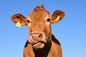 Девочки гуляют: в Тихвине стадо коров и козёл устроили транспортный коллапс