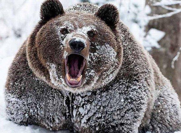 В России медведь-шатун залез в дом через окно, съел мужчину и сбежал