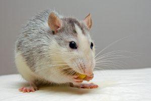 В Петербурге вырос спрос на крыс в преддверии Нового года