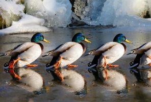 Дикие утки решили перезимовать на очистных сооружениях «Водоканала»