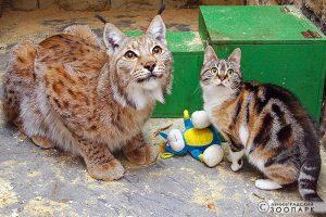 Умерла кошка Дуся, жившая вместе с рысью в Ленинградском зоопарке