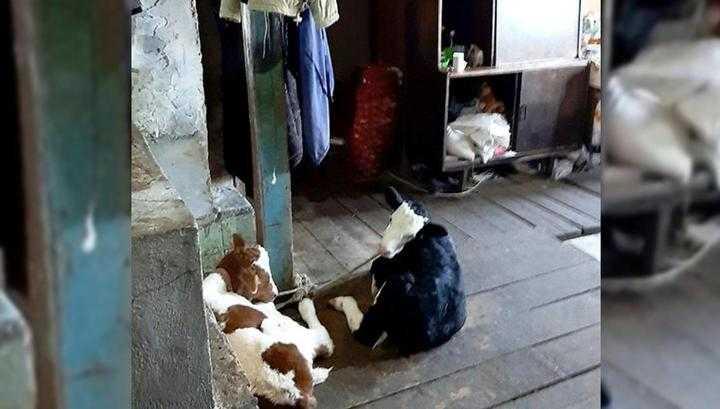 В Приморье бабушка поселила внучку в загоне с телятами