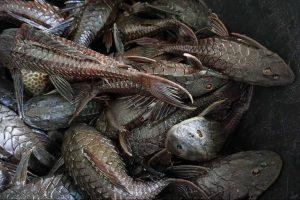 Очевидцы: На берегу Нижнего Суздальского озера нашли сома из Южной Америки