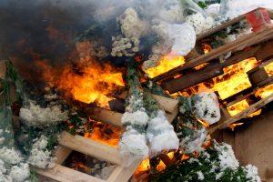 В Петербурге сожгут 1400 заражённых хризантем и гвоздик