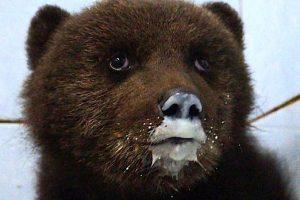 В Ленобласти выбирают имена для троих медвежат