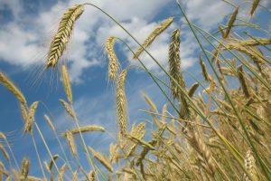Россия приостановила экспорт зерна до 1 июля