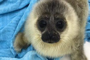 В центре «Спасение тюленей» показали одного из новых подопечных