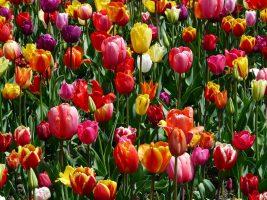 Знаменитый фестиваль тюльпанов на Елагином острове проходит в онлайн-формате