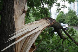 Садовники начали лечить повреждённую из-за урагана рябину Андрея Петрова