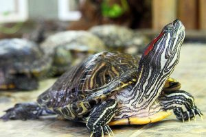 Напоминаем: Ленинградский зоопарк не принимает красноухих черепах