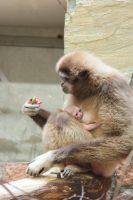 У самки белорукого гиббона из Ленинградского зоопарка появился детёныш
