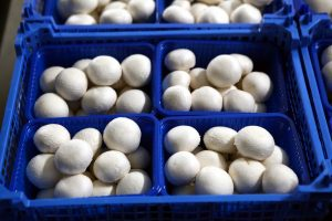 Ленобласть вошла в число лидеров России по производству культивируемых грибов