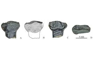 Учёные исследовали более 60 зубов стегозавров из Якутии